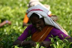SL0093 (Family Traveller) Tags: tea srilanka teapickers