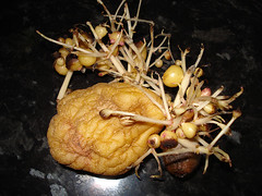 alien spud (Urbanimp) Tags: weird vegetable potato spud alienlifeforms strangegrowth