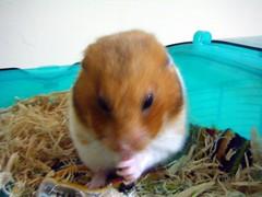 20080307 - 10 (kayako_) Tags: hamster pon