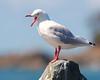 Not.happy.birdy (sub_lime79) Tags: ocean sea seagulls bird beach water birds rock wings seagull gull creativecommons avian karmapotd karmapotw