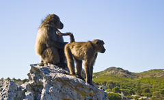 lookout (LP365) Tags: africa southafrica hiking capetown cape baboon capepoint fynbos glencairn baboonmatters