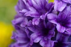 Hyacinth (rab36) Tags: flower macro nature natur blume makro karlsruhe botanicalgarden violett botanischergarten hyazinthe catchycolorsviolet sigma70mmf28exdg