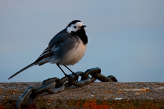 White Wagtail in Colour (Stavelin) Tags: bird vr linerle whitewagtail fulg canoneos30d the99 bildekritikk roarstavelin thesigmaapo50500mmf463exdghsm