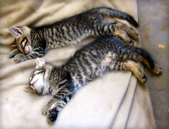 Tired Kittens (Andromeda Honds) Tags: sleeping cats sleep tabby kittens tired
