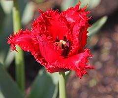 Burgundy Lace Tulip (michaelmatusinec) Tags: flowers red wisconsin digitalcameraclub boernerbotanicalgardens canoneos40d