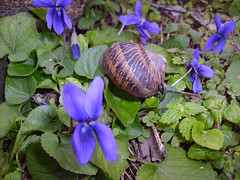 compositio (buonalaprima) Tags: lumaca viola violetta