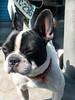 Call me Bunny! (HäschenliebeSchweinchen) Tags: street dog cute bostonterrier ♥ häschen longears thebestofday gününeniyisi callmebunny