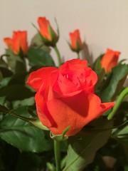 Roses (markshephard800) Tags: flores flora fiori bloemen blumen fleurs flowers leaves green orange roses