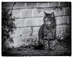 Le Chat (Oliver Leveritt) Tags: cat monochrome blackandwhite nikond610 sigma150600mmf563dgoshsm|s oliverleverittphotography sigma150600 sigmateleconvertertc1401 teleconvertertc1401 teleconverter sb800 flash speedlight