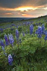 The finale (Ellie Stone) Tags: sunset nature canon landscape washington butte 5d wildflowers finale lupine palouse steptoe mrkii apertureacademy