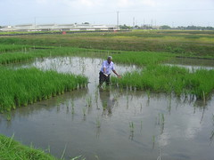 Waterproof Rice provides Flood Relief for Poor Farmers (IRRI Images) Tags: food water timelapse flooding asia rice flood change climatechange climate warming global waterproof globalwarming submergence ricegrowing  riceresearch sub1a