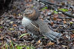 Tétras du Canada, mâle / Spruce Grouse / Falcipennis canadensis (Rock Arsenault) Tags: faune specanimal theunforgettablepictures naturewatcher photoquebec