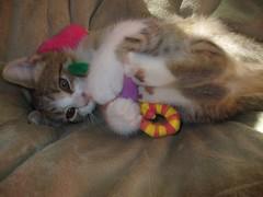 Kitties_Cassie_ZuZu_Oct2007 065 (thehipgoddess) Tags: girls cats happiness kittens cassie surprise felines cuddling zuzu cattoys tabbys clippermill