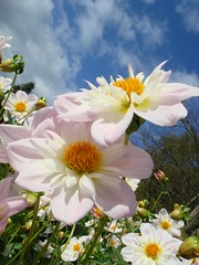 White flowers (***irene***) Tags: dahlia flowers blue sky white garden island fantastic 2000 explore 100 500 5000 10000 3000 1500 1000 6000 9000 14000 8000 mainau 4000 20000 12000 takeabow 15000 11000 7000 naturesfinest 13000 16000 blueribbonwinner athousandwords splendiferous supershot amazingtalent 18000 17000 19000 flowerotica fantasticflower masterphotos golddragon flickr100 mywinners abigfave platinumphoto irresistiblebeauty superbmasterpiece diamondclassphotographer flickrdiamond megashot macromarvels flickr150 coloursplosion flickr50 flickr200 flickr250 flickr300 flickr350 dhalie