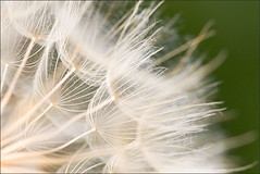 Parachutes at the ready (Rob Overcash Photography) Tags: flower macro pappas bracts taraxacum dandelionclock naturesfinest dandelionseeds robotography robovercashphotography