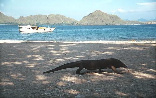 Big Lizards on Komodo Island