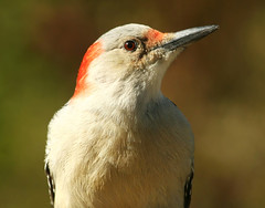 Red-bellied Woodpecker (female) (nature55) Tags: autumn bird outdoors aves redbelliedwoodpecker soe naturesfinest anture specanimal nature55 mywinners avianexcellence diamondclassphotographer naturewatcher theperfectphotographer