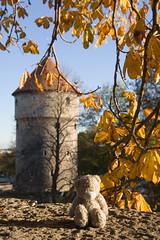 Grey Bear on an autumn afternoon in Tallinn (Pug!) Tags: autumn red tower fall freeassociation leaves leaf europe tallinn estonia cone tattyteddy toompea greybear tallinn2