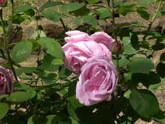 ortobotanico 133 (blum1) Tags: alberi fiori piante ortobotanico