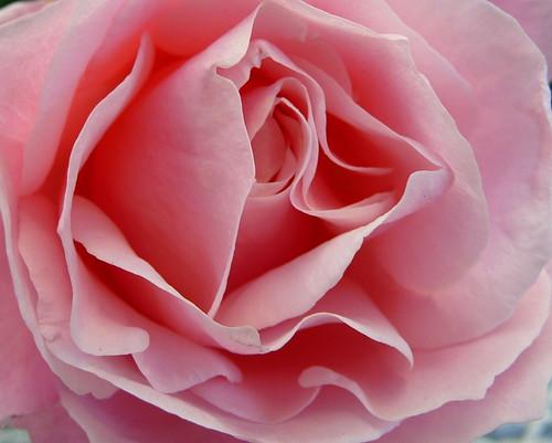 Una Rosa per tutte le donne di flickr