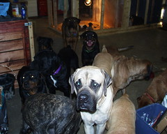 The Crew (muslovedogs) Tags: treats mastiff rottweiler maggie daisy playtime excalibur canecorso mylady mastweiler teaara