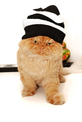 Garfi is posing with hat :)) (E.L.A) Tags: persian orangecat orange kitties kittens garfield garfi cat turkey family nature oneanimal kitten domesticcat animal differentcatbreeds domesticanimals fur cute pets feline photography pet nopeople animaleye colorimage innocence looking domesticlife frontview facialexpression animalthemes attitude character portrait lookingatcamera hat humor fun vertical whitebackground animalhair funny whisker fashion fluffy persiancat clothing paw posing healthy happy pose indoors ab bestcatphotos