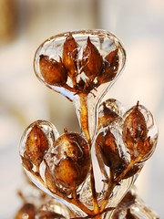 Nature In Ice 3 (Ron Ginther) Tags: plants flower macro ice nature closeup seeds naturesfinest frozenrain sonydsch5 platinumphoto anawesomeshot penstemonseeds