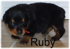 ruby3 (muslovedogs) Tags: dogs puppy rottweiler teaara zeusoffspring