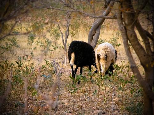 Socotra Sheep