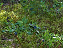 Berries were blue (Elsa Kurppa) Tags: summer green suomi finland ilovenature berry 2007 sommar kes grn bilberry  blbr mustikka vacciniummyrtillus vihre    elsakurppa