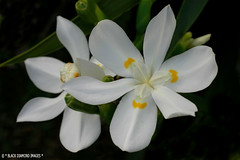 Dietes robinsoniana - Wedding Lily,Lord Howe Island (Black Diamond Images) Tags: island nsw lordhoweisland iridaceae australiannativeplant dietes naturesfinest rainforests australiannativeplants australianplants rainforestplants rainforestplant arfp blackdiamondimages australianrainforestplant australianrainforestplants dietesrobinsoniana nswrfp lhrfp weddinglily arfflowers whitearfflowers whitefp
