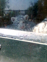 Cachorro de tigre blanco *O* (pauliyuki) Tags: zoo zoolgico cachorros vacaciones tigreblanco