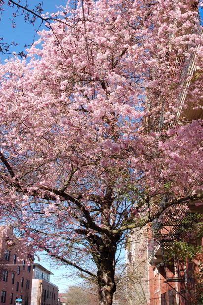 flowering_tree_030908