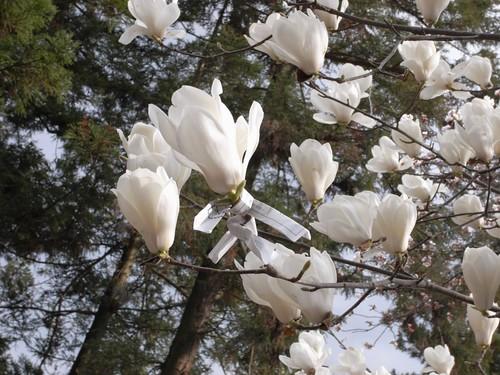 氷室神社(しだれ桜)-11