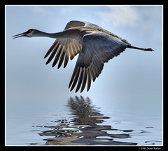 Flight of the Sandhill (James Neeley) Tags: bird bravo crane wildlife idaho sandhillcrane camas firstquality specanimal jamesneeley bratanesque bestofbratanesque