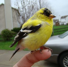 Sick goldfinch