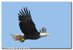 BALD EAGLE vs osprey (3 pix) (Nikographer [Jon]) Tags: fish bird birds animal animals lenstagged md nikon eagle wildlife baldeagle bald maryland competition easternshore national april stolen prey nikkor blackwater behavior 2008 osprey haliaeetusleucocephalus stealing apr refuge nationalwildliferefuge nwr d300 haliaeetus leucocephalus 80400mmf4556dvr nikonstunninggallery marylandseasternshore blackwaternationalwildliferefuge bnwr nikond300 20080426d30020790 jss20081 imagesforblog1