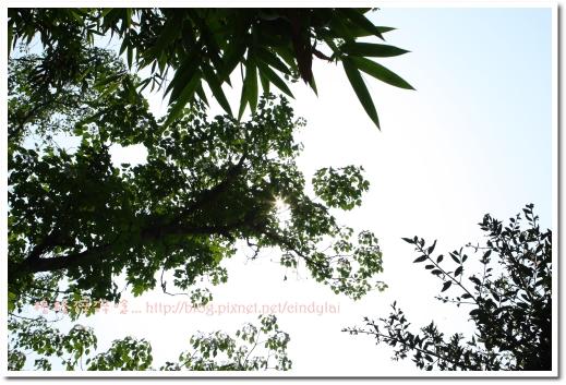 20080503桐花_015