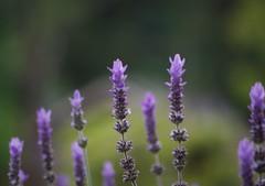 Lavenders (bluehazyjunem) Tags: park summer early 2008 hibiya lavenders blueribbonwinner abigfave goldstaraward