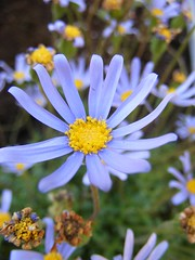 felicia (snmknsz) Tags: flowers blue macro turkey spring trkiye istanbul daisy mavi bahar iek sar papatya