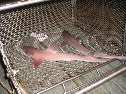 dogfish shark circulatory system. Dogfish shark