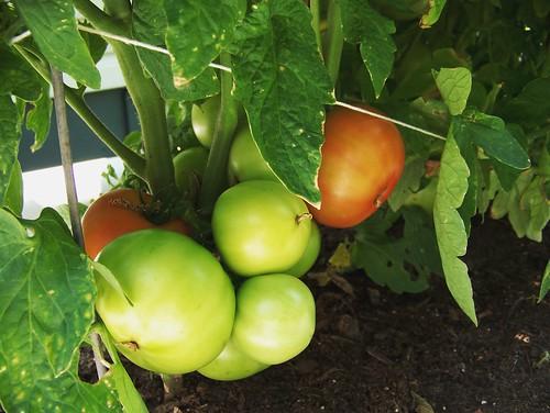 Tomatoes - week 9