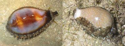Cowrie-Cypraea onyx & Cypraea miliaris (Kusu)