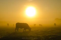 Plein soleil (Bertrand Thiéfaine) Tags: leverdujour soleil vaches prairie champ orange lumière d5100 brume maraisdegrée