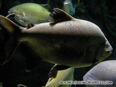 Fat Amazon fish