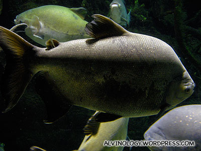 Fat Amazon fish