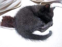 猫カフェのネコの写真9