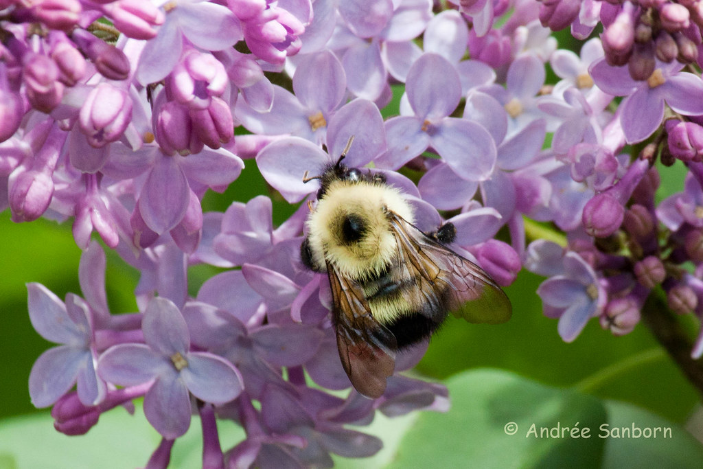 Bumblebee on Lilacs-4.jpg