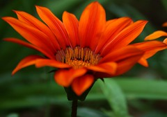 Autumn sun (SolsticeSol) Tags: autumn orange flower fall floral garden petals orangeflower gazania asteraceae beautifulflowers prettyflowers prettyflower flowerimage picturesofflowers orangegazania beautifulflowerimage beautifulflowerimages beautifulfloralimages byteresalett bysolsticesol