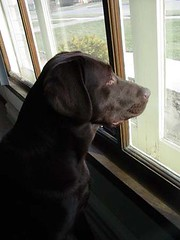 Chocolate Lab Waiting at Window